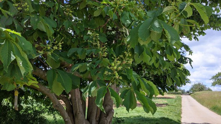 Horse Chestnuts Tree