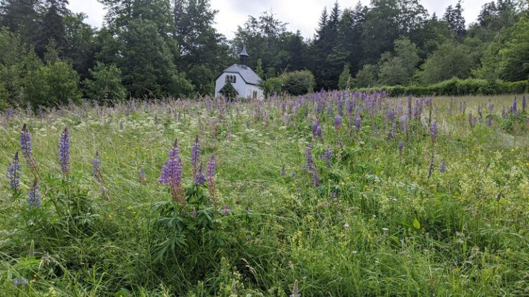Field of lupins